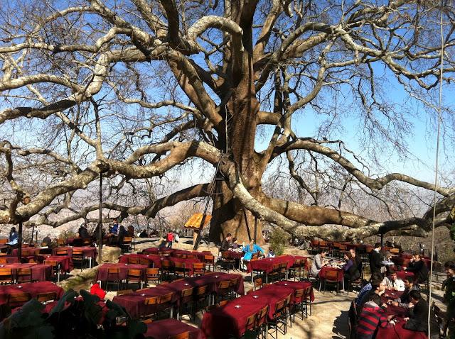 الشجرة الكبيرة